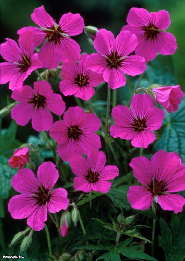 Hardy Geranium (Geranium Patricia) - just planted some in my side garden today.  Love when friends give me flowers.