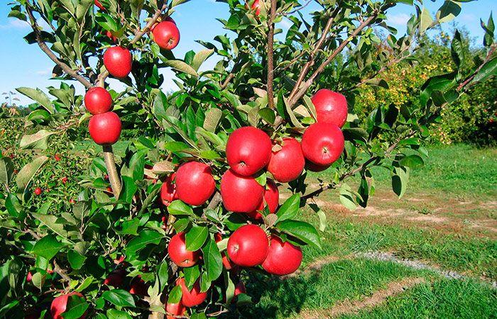 Чтобы яблони были урожайными