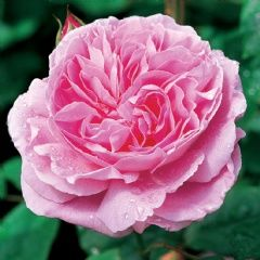 Mary Rose - David Austin Roses