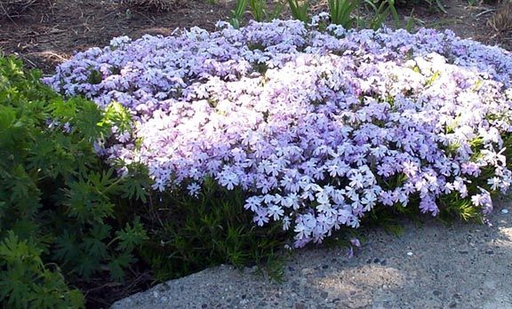 Creeping Phlox, Moss Phlox ground cover for Bend, OR