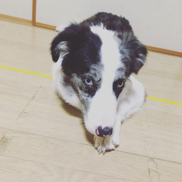 あれ?! #左手 ないよ、、、? って時、ありませんか? 手を折ってる時に😅 これもまた#可愛い ですよね〜😍 #犬 #dog #ブルーマール  #ボーダーコリーブルーマール  #ボーダーコリー #bordercollie  #puppy #puppylove #love  #愛犬 #犬のいる暮らし #japan  #cute  #cool #instadog  #犬バカ部 #犬ら部 #picture #life  #hand #ワンちゃん特有の可愛さですね☺️ #カメラ目線