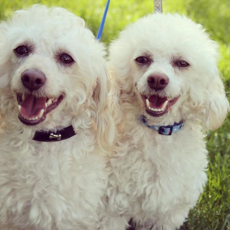 Carmel and Copper - bonded 2-year-old shih tzu poodle brothers. Good with other dogs and kids. They would love to find a forever home together. They are fostered at Size Small Dog Rescue in Saskatoon.  Oct 16, 2013