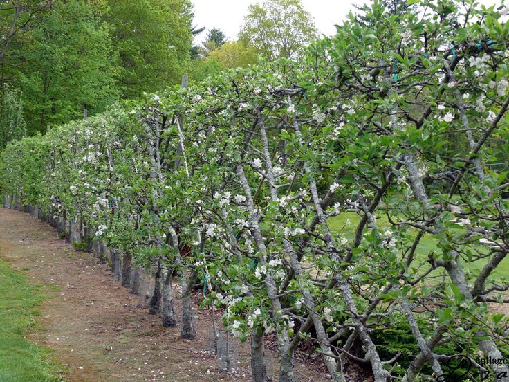 245 Best Images About Garden Espalier On Pinterest Trees Pears And Training