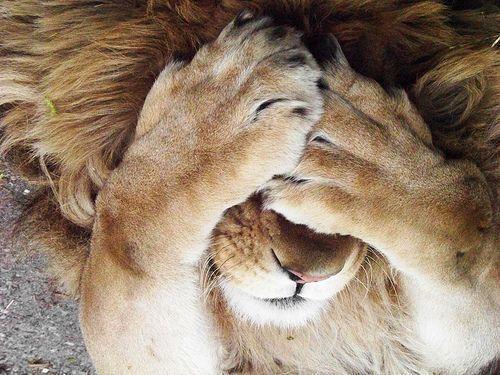 Lion.: Animals, Big Cats, Bigcats, Lions, Things, Peekaboo, Peek A Boo, Photo