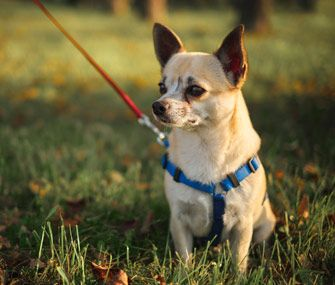 how long does a chihuahua live three things you can do to keep your pet healthy as long 8228