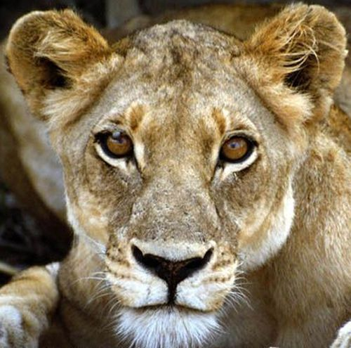 an introduction to the nature of lion Keywords: panthera leo, re-introduction, small reserve management  1979  male lions in large coalitions gain reproductive advantages nature 282, 839– 841.