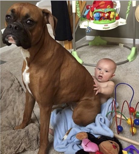 No lap too small. The boxer will sit on anyone. Lol