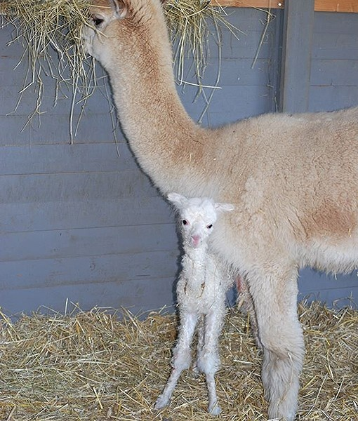 A baby alpaca has been welcomed into the world at the Parken Zoo in Eskilstuna, Sweden. Mother and baby are both doing very well.