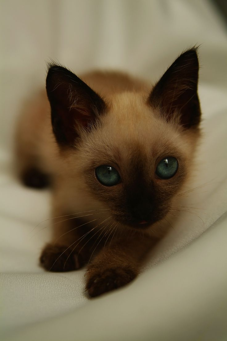 Lilac Point Siamese......I would love one of these little kitties sooo much..aww =)