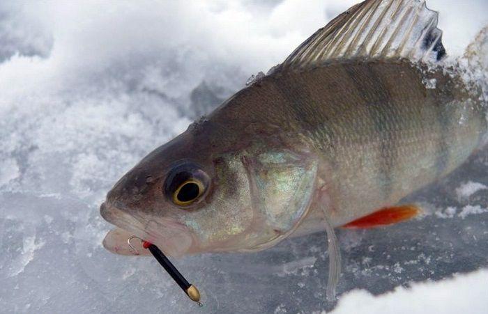 Зимняя рыбалка на окуня безмотылку
