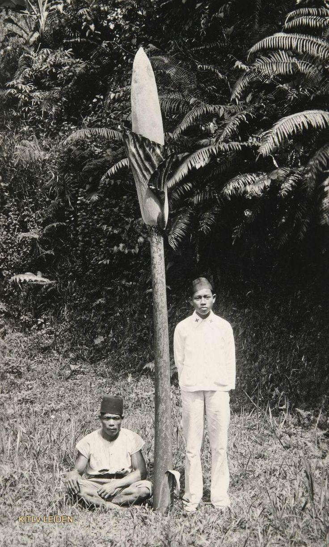 Amorphophallus even sowed op Java als Sumatra voorkomende plant met even bloeistengel van 335cm 1915.