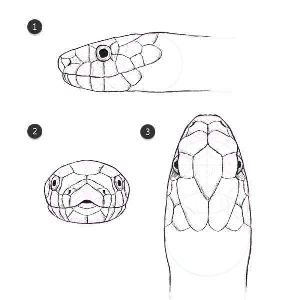 neck scales outlined