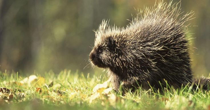 Como dizer se um porco-espinho é macho ou é fêmea. O porco-espinho norte americano é um grande roedor que acasala-se uma vez por ano. As fêmeas receptivas dessa espécie atraem um certo número de machos, que competem entre si pela atenção dela. Eles vocalizam alto, usam os espinhos e mordem violentamente. Os machos urinam nas fêmeas até que elas os aceitem. Espirram urina através da ejaculação e ...