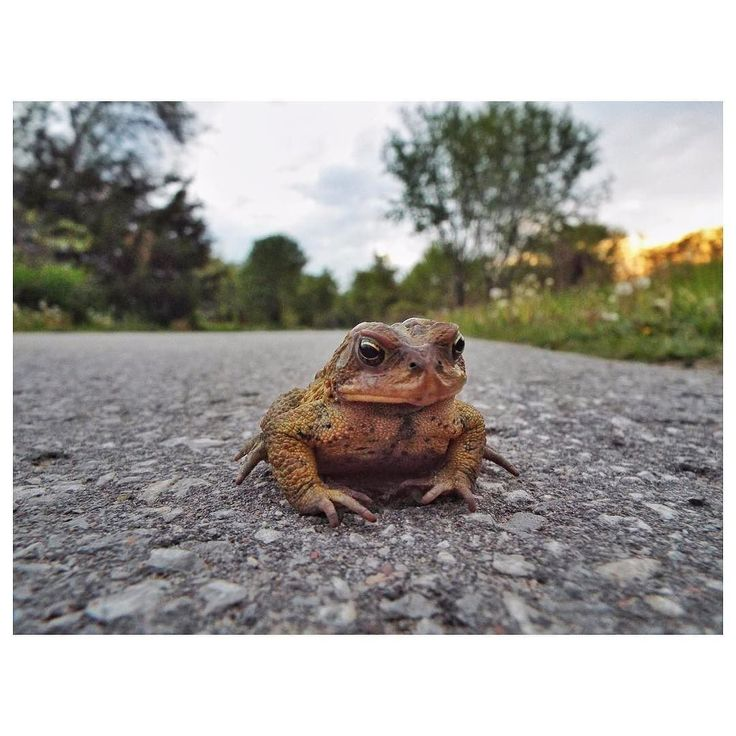 Caption contest... go! Today's cover photo by creative davidpwhelan #morguefile #forcreativesbycreatives #toad #road #pavement #