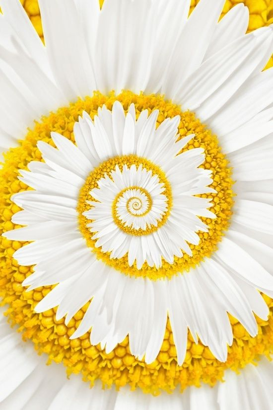 A miracle daisy/ this is not a miracle, this is nature, mathematics, it is how cauliflower, seashells, staircases, snail shells, curly hail is formed, a spiral, a mathematical equation....geometry, the beauty of math you thought you would never use again