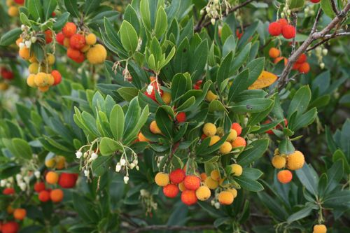 Arbutus unedo,strawberry tree.   evergreen, full sun or light to open shade. hgt: 8 ft ( mature: 20 ft) spread: 7 ft.