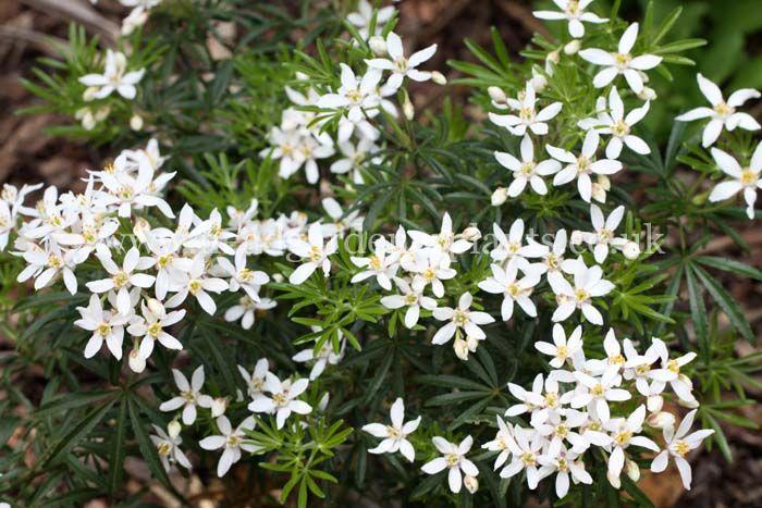 choisya ternata 39 white dazzler 39 plants pinterest. Black Bedroom Furniture Sets. Home Design Ideas