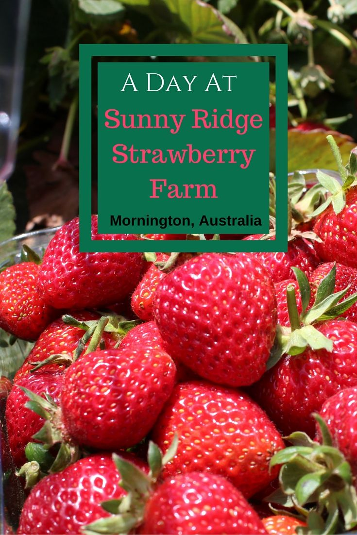 Picking Strawberries at Sunny Ridge Strawberry Farm, Mornington, Australia