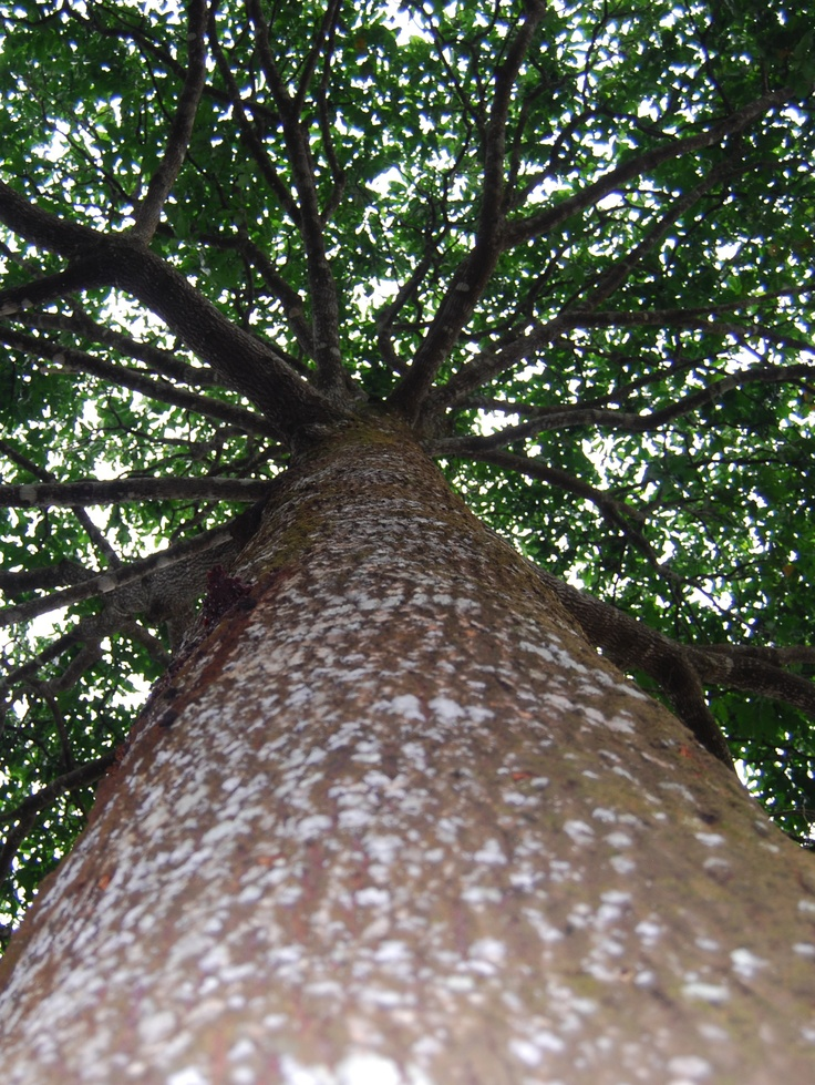 What a majestic tree the Brazil nut is. In Brazil its fruit used to be called castanha do Pará or Pará (state) nut. Pará is in the Amazon and a great producer of this yummy food. Today there's an effort to call it castanha do Brasil. AmazonDrops sells Brazil nut oil for massage and moisturizing. The oil is also used in several other products manufactured by AmazonDrops including creams and soaps.