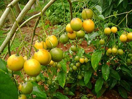 TOMATINHO DO MATO (Solanum diploclonos)  Frutifica nos meses de fevereiro a agosto. Os frutos são muito bonitos por terem uma cor amarela vibrante, são comestíveis tanto in-natura como na culinária. A casca é grossa e dura mais a polpa interna é liquida e tem gosto de maracujá. A polpa pode ser usada para fazer sucos refrescantes. Os frutos cordados ao meio e sem a polpa podem ser secos assim como se prepara o tomate seco. Os frutos fatiados podem ser refogados até virar um tipo de molho