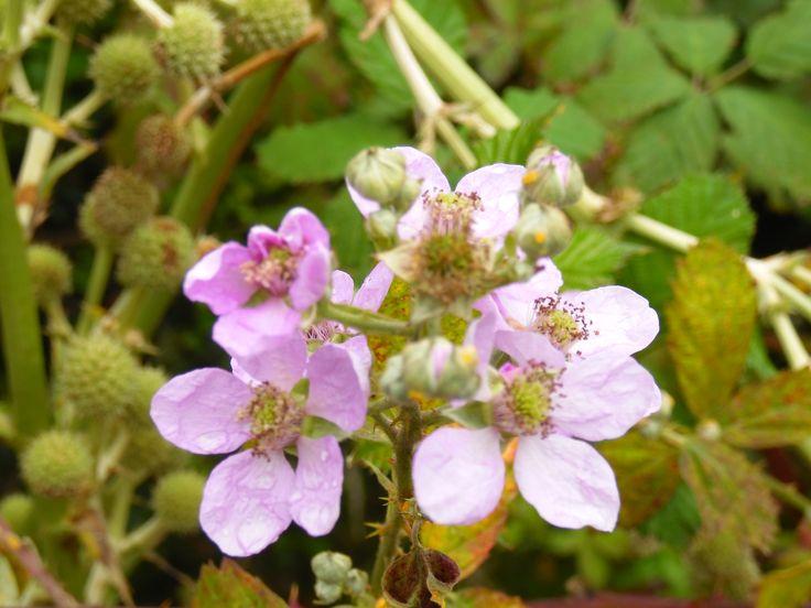 flores de moras (Rubus ulmifolius)