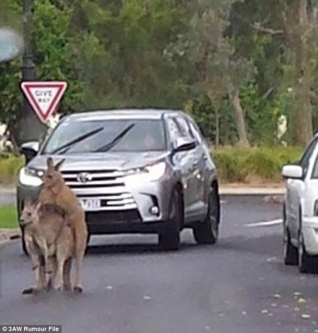 Melbourne traffic was stopped on Wednesday after two kangaroos began mating in the middle of the road. A photo has emerged of the kangaroos engaged in an amorous display in front of a four-wheel drive on a residential street in Macleod, northeast Melbourne. Advertisement The unexpected roadblock was revealed by a witness on 3AW Breakfast Thursday morning. A photo has emerged of two kangaroos engaged in an amorous display in front of a four-wheel drive on a residential street in Macleod…