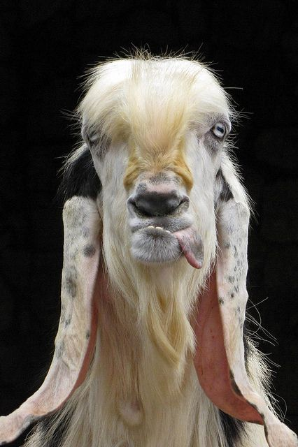 poor baby's got an underbite | Sometimes, a picture of a llama on Pinterest is just a picture of a llama on Pinterest.