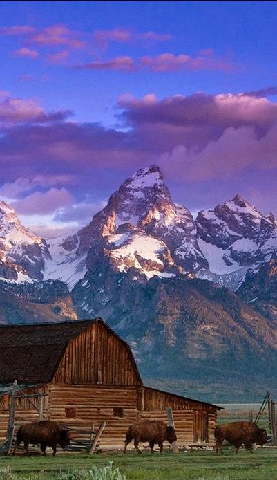 Bison at Grand Teton National Park in Wyoming • photo: Matthew Potter on Global Bhasin http://www.supertransportablehomes.com.au/3-4-bedrooms-manufactured-homes/: