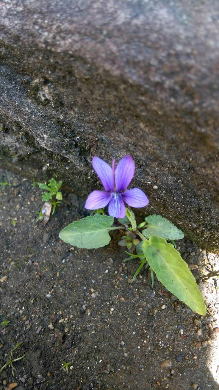 Wild violet in the corner of drainage ditch. 排水溝の隅に咲いてたスミレ。