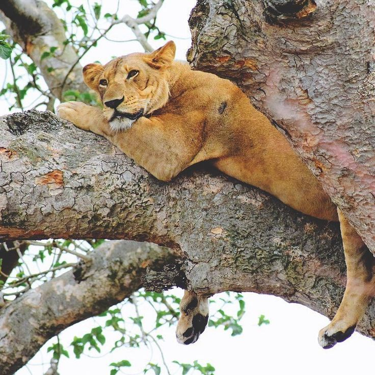 After leaving #Bwindi we drive through #Ishasha where we look for tree-climbing lions. Day 8 of our trip to #Uganda.  #contourairse #litemeravallt #pin #rundresa #paketresa #bokaresa #restips #resatilluganda #ugandaresa #vildadjur #äventyrsresa #afrika #resa #semester
