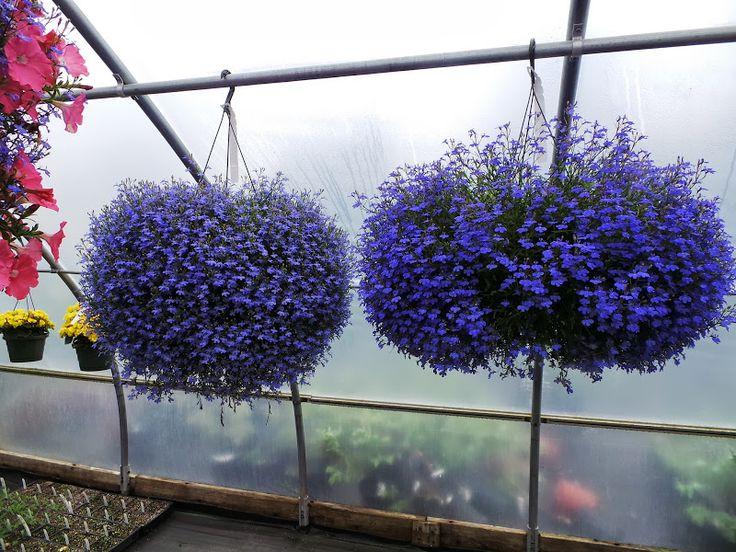 Plante pentru ghiveci suspendat – lobelia