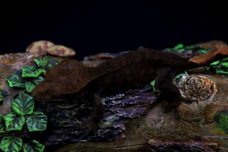 Mejores 76 imágenes de Crested Geckos en Pinterest | Gecko con ...