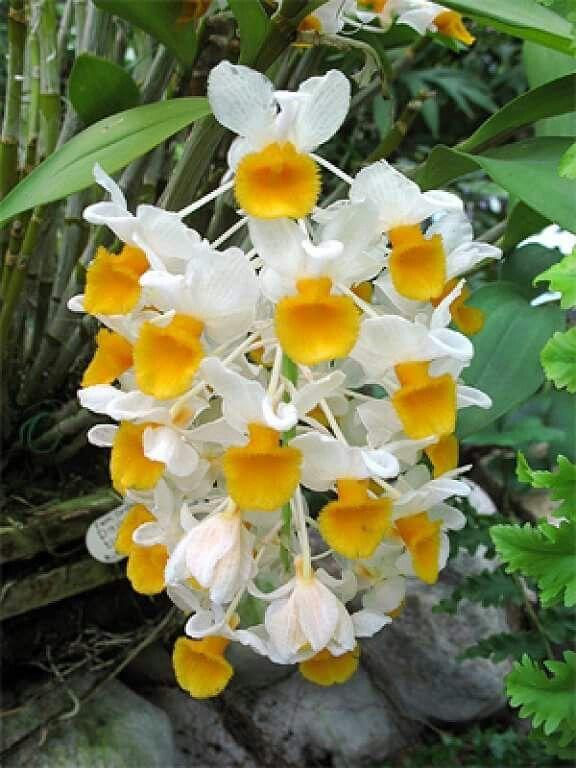 Orquídeas de Colombia