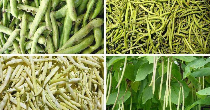 C mo cultivar las jud as verdes m s tiernas del mundo en - Cultivar judias verdes ...