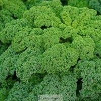 Kadeřávek Lerchenzungen - Brassica oleracea L. - semena kadeřávku - 0,5 gr