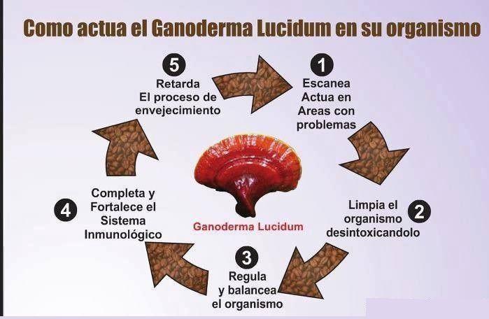 El Ganoderma Lucidum en el organismo