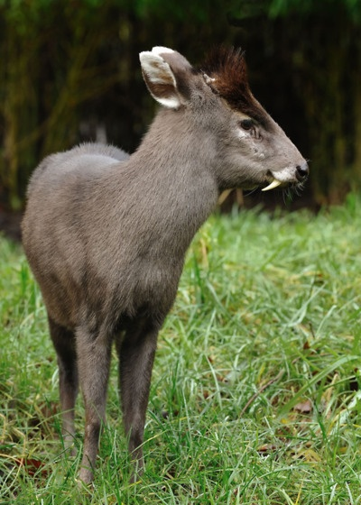 """Muntjac ......Males have short antlers, which can regrow, but they tend to fight for territory with their """"tusks"""" (downward-pointing canine teeth). The presence of these """"tusks"""" is otherwise unknown in native British wild deer and can be discriminatory when trying to differentiate a Muntjac from an immature native deer, although Chinese Water Deer also have visible tusks (downward-pointing canine teeth); however, they are much less widespread."""