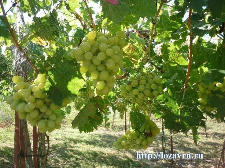 Новый Подарок Запорожью — новая столовая форма винограда - сорта винограда на Н - ВИНОГРАДНАЯ ЛОЗА