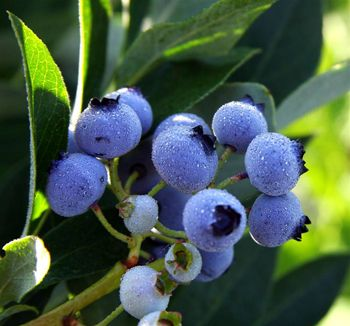 Rubel Northern Highbush Blueberry Plant (4-6' tall, old variety, sweetest and most robust flavor, highest level of antioxidants, zones 4-8)
