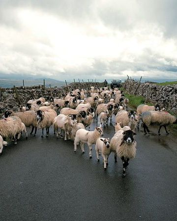 Yorkshire Dales National Park, England Photograph by Britain on View/Photolibrary  Regular commuters, sheep take to the road in Yorkshire Dales National Park, England. Dry stone walls mark lanes and fields in the rambling park, which has 250,000 acres (100,000 hectares) of open access land.