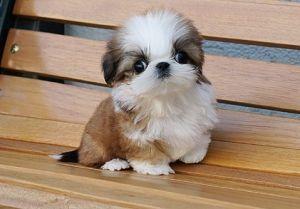 I love you sweet Shih Tzu puppy...