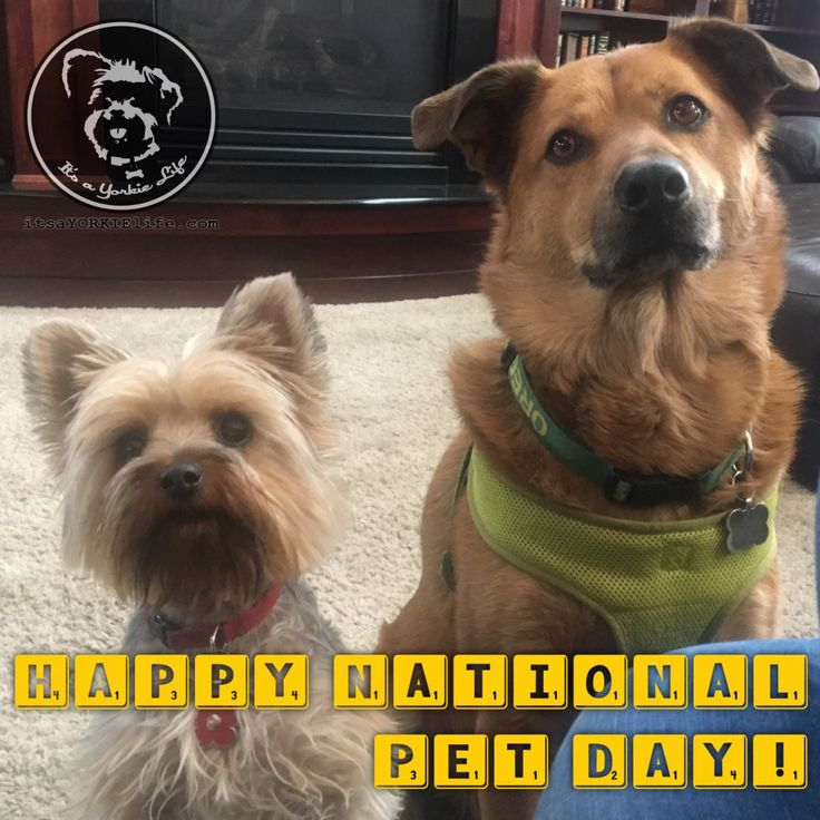 Happy National Pet Day! Give your Yorkie a hug and thank your other pets for their patience and love.   Found at: https://itsayorkielife.com/happy-national-pet-day/  #Yorkies,#YorkshireTerriers,#Yorkielove,#ItsaYorkieLife