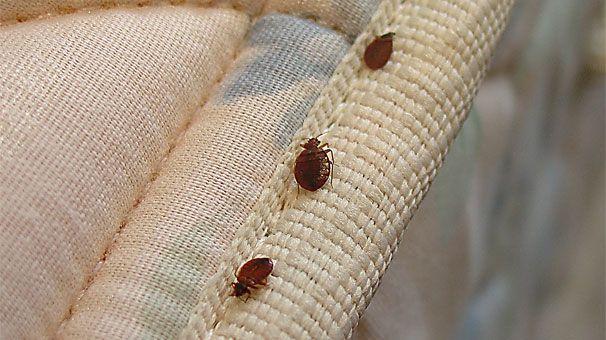Yatak böcekleri - Tahta Kurusu ancak yetişkin haldeyken görülmesi kolaydır.