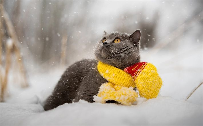 Download wallpapers British Shorthair cat, winter, snow, cute animals, gray cats