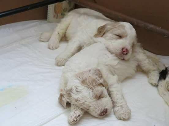 cuccioli di Lagotto romagnolo trovato su facebook. Sono bellissimi!