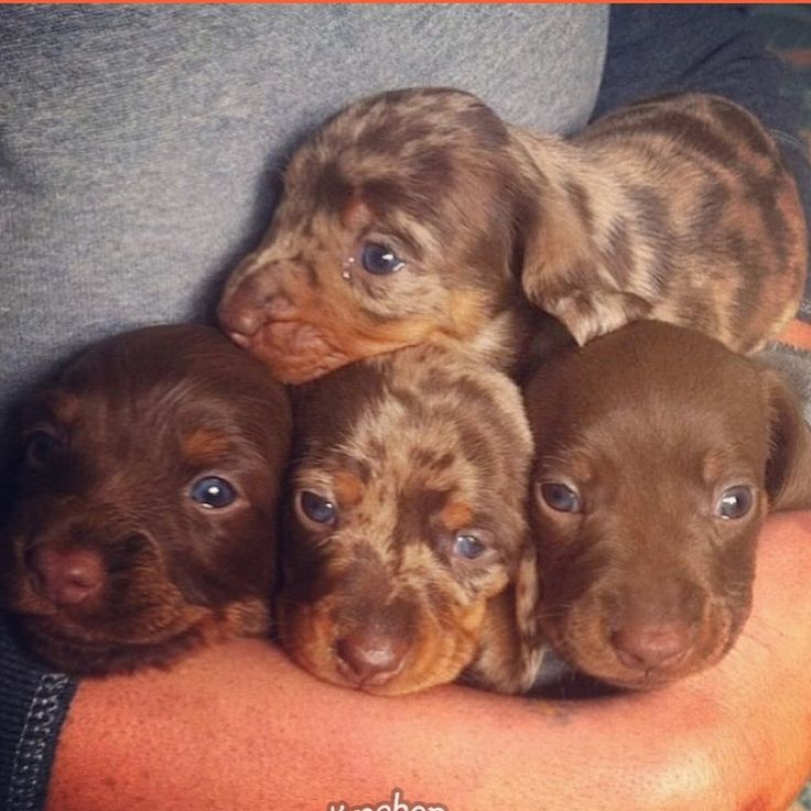 Merle Puppies For Sale In Nj References