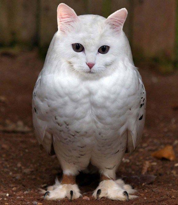 chouette a tete de chat 5   chouettes à tête de chat   tête photoshop photo parodie mash up image hybride croisement chouette chat