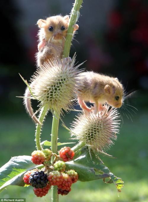 Baby dormice at Secret World Animal Rescue, England, playing on the teasle and being introduced to wild blackberries