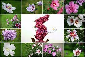 무궁화꽃에 대한 이미지 검색결과