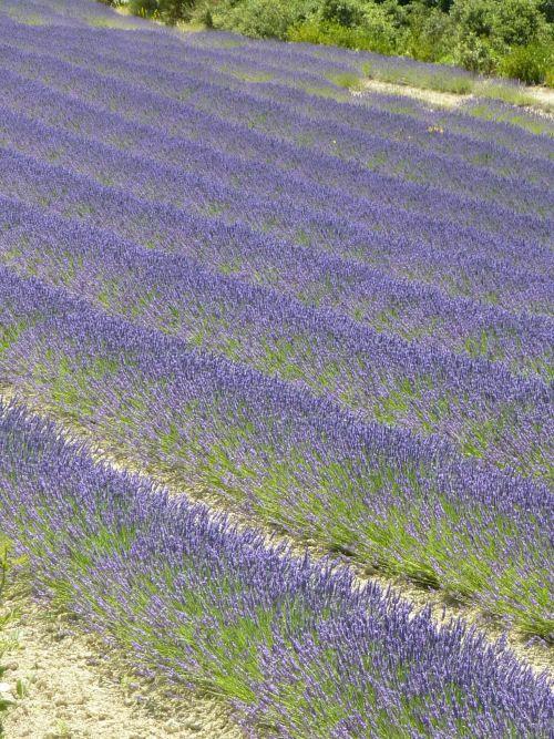 LAVANDER Field in France...breathe taking...